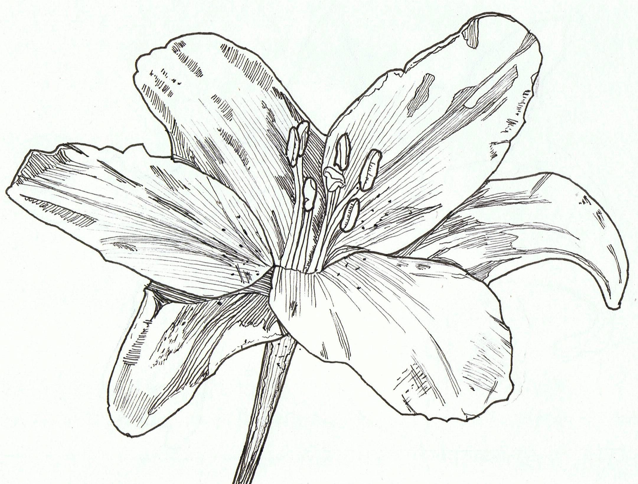 jpg transparent stock drawing lily pen #134630420