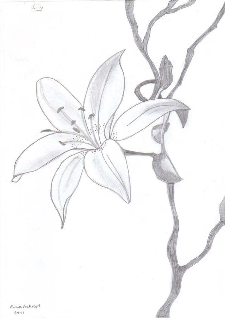 image lily flowers drawings