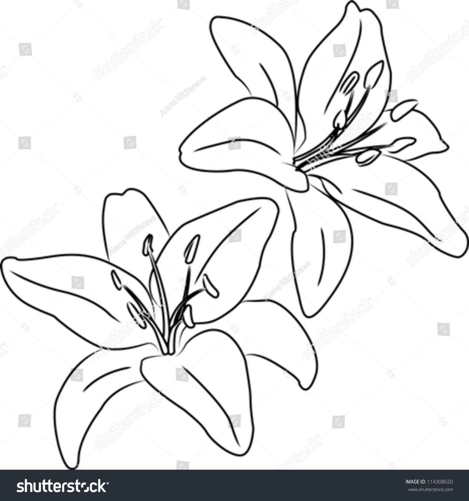 clipart free download Two blooming Asiatic lilies flowers vector sketch outline in