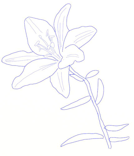 png free download How to Draw a Lily Flower