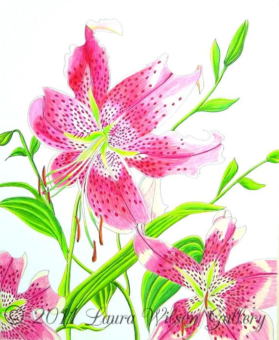 clip black and white library Stargazer Lily Original Drawing in Pen and Colored Pencil