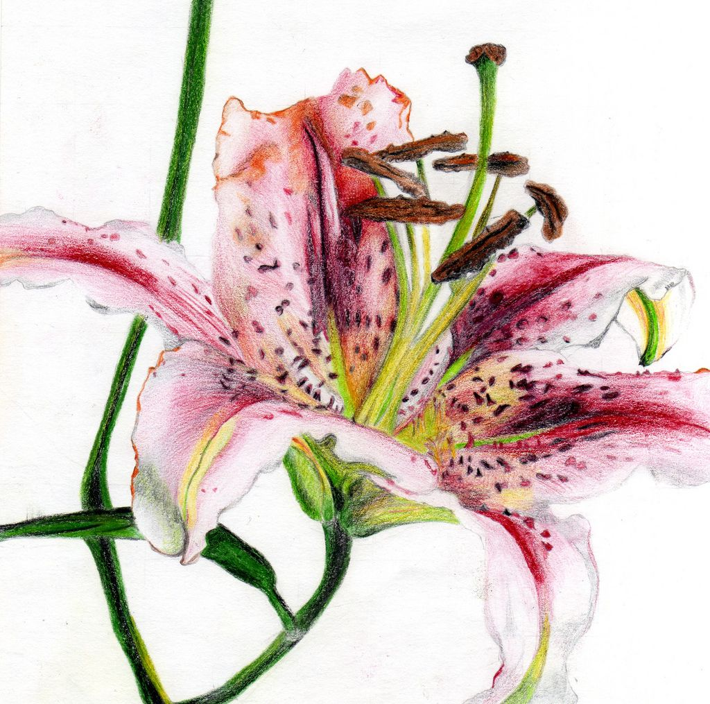 clip art library stock Drawing of a lily I did using coloured pencils
