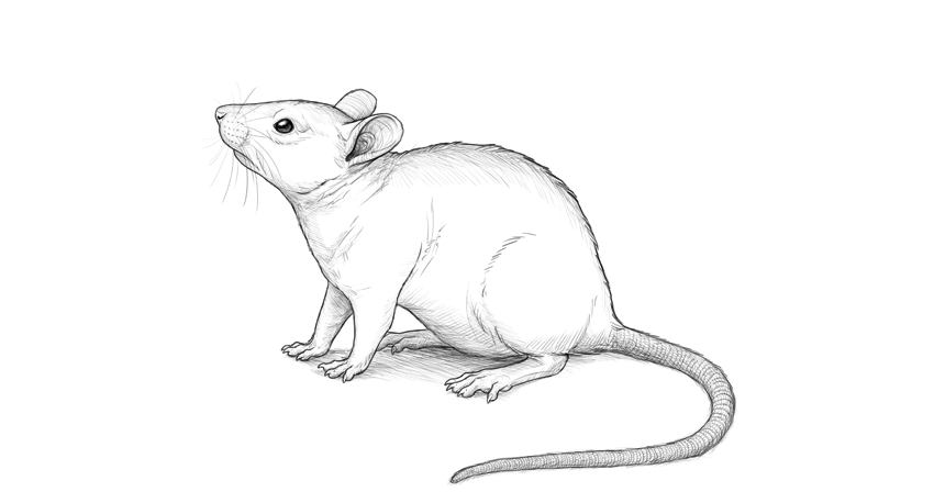 freeuse stock Drawing mouse. How to draw a