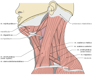 banner royalty free library Spasmodic torticollis wikipedia muscles. Drawing neck muscle