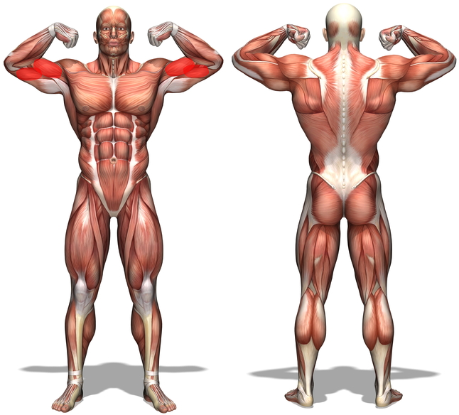 banner library drawing muscle muscular figure #95237755