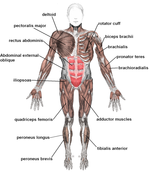 clipart free download Bicep drawing tricep. The muscular system medical