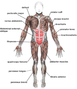 banner black and white Lots of information about the muscular system