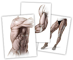 clipart library library Collection of free Drawing muscles proko