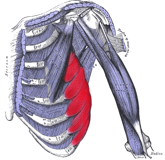 svg library The serratus anterior originates on ribs