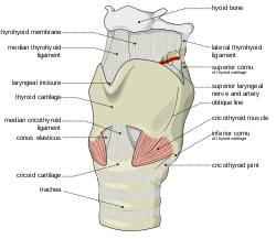 free Cricoid cartilage wikipedia larynx. Drawing neck adam's apple
