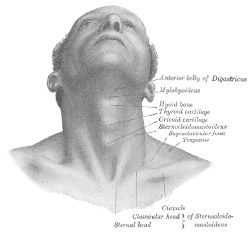 picture free download Adam s wikiwand . Drawing neck adam's apple