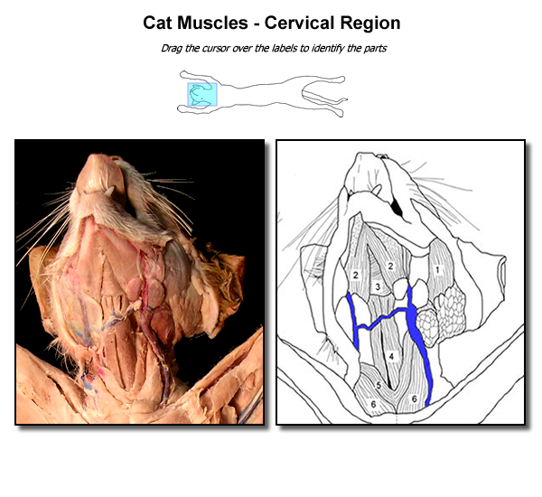 clip transparent library Drawing neck muscle. Collection of free muscles