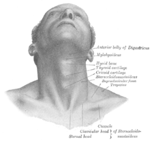 clip royalty free stock Wiktionary a. Drawing necks human neck