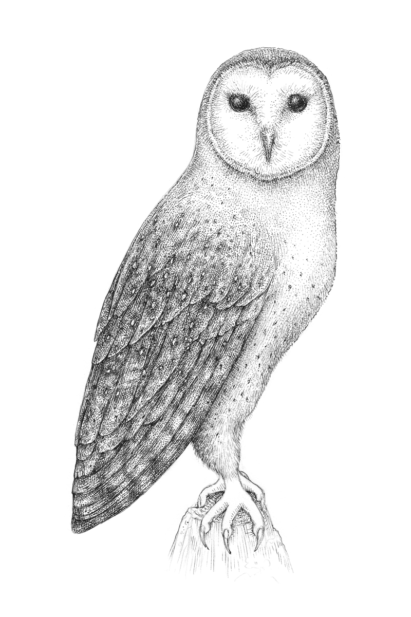 jpg stock Drawing owls. How to draw an.