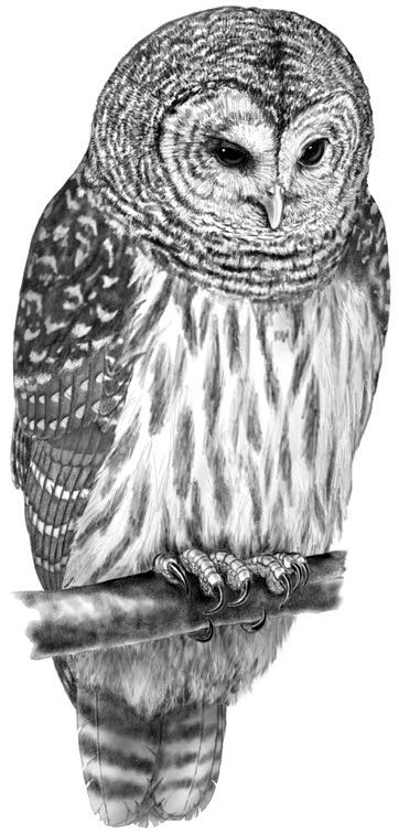 graphic transparent Drawing owl barred. Drawings in sketch