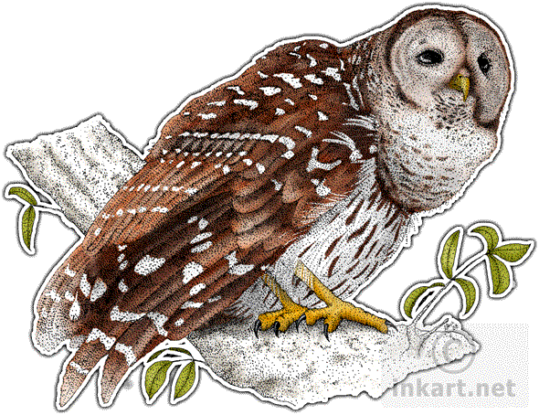 image library library Drawing owl barred. Wildlife art birds of