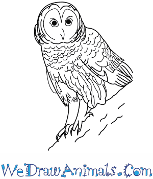 png royalty free library Drawing owl barred. How to draw a