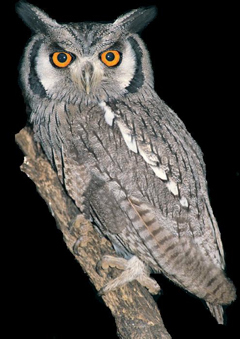 black and white download Drawing owl elf.  filja kopiya png