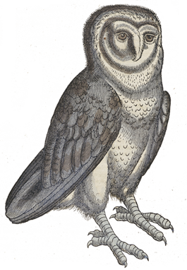 banner royalty free stock Illustration of an owl from Konrad Gesner