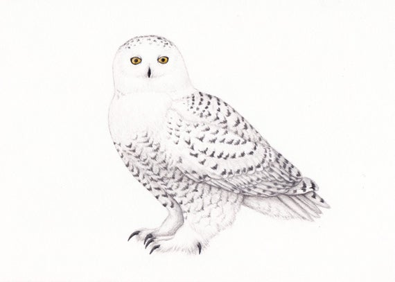 clip art royalty free library Art decor colored pencil. Drawing owl snowy