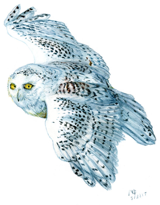 svg royalty free Watercolour pencil bird art. Drawing owl snowy