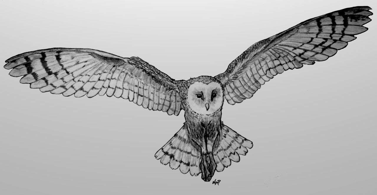 picture free library Owl in flight pencil. Drawing owls flying