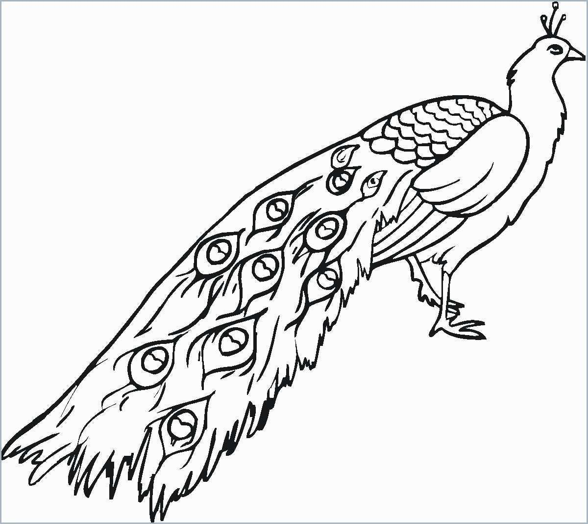 image free download Drawing peacocks line. Peacock at paintingvalley com