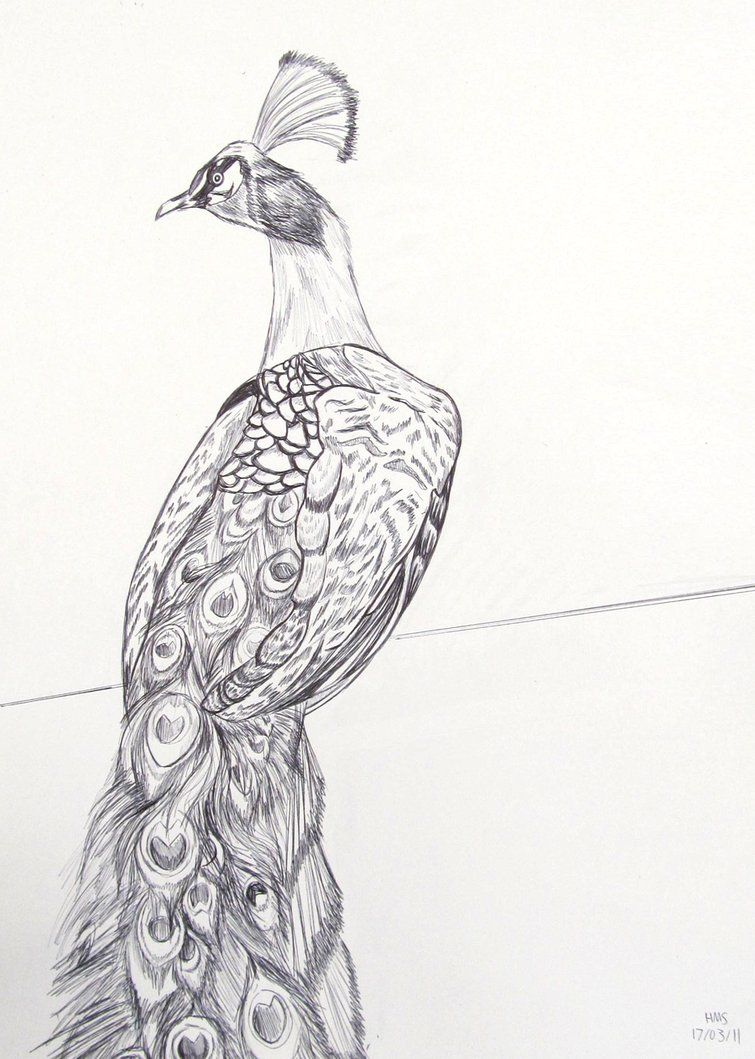 banner transparent stock How to draw a. Drawing peacocks pen