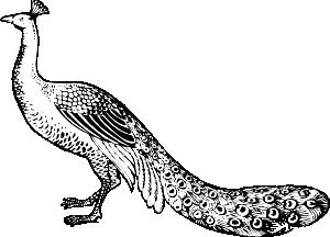 freeuse Peacock clip art at. Drawing peacocks sketch