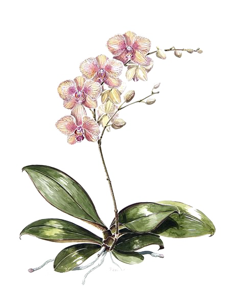 clipart library Blackberry drawing botanical. Moth orchids illustration watercolor
