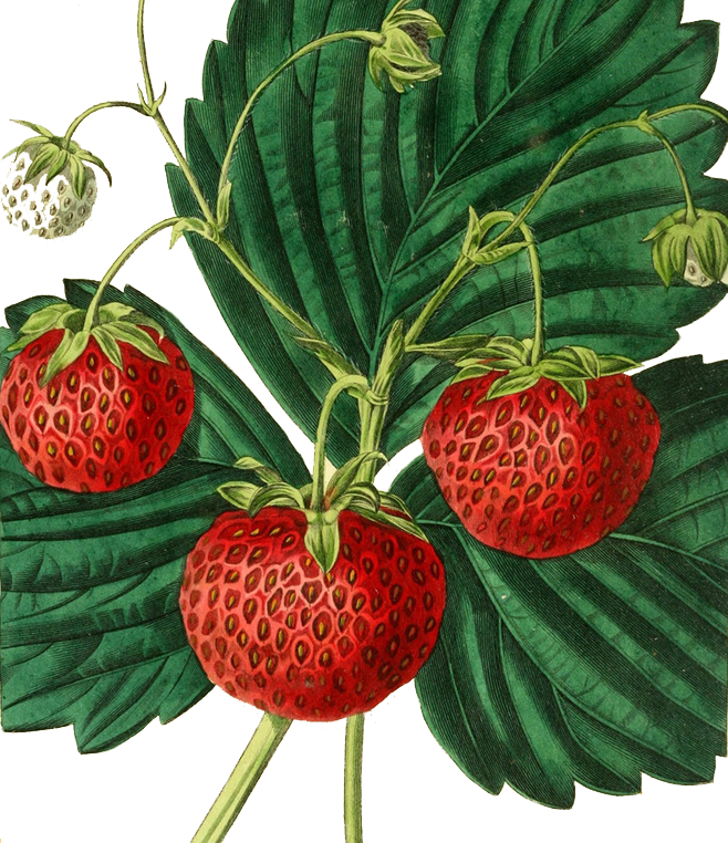 banner library Drawing strawberries illustration. Strawberry painting fruit