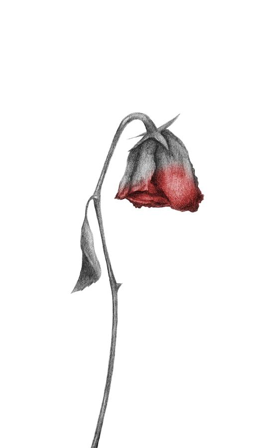 clip freeuse download Drawing sad dying. Rose