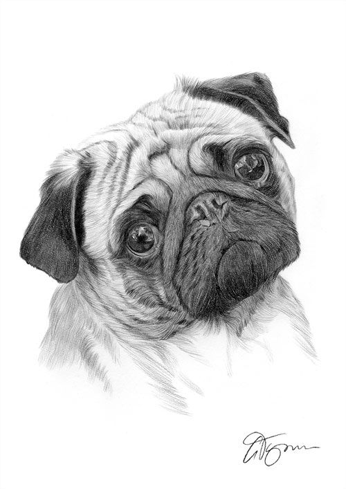 clip library  salve for free. Drawing salves dog