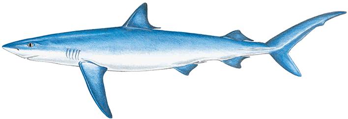 banner transparent stock Drawing sharks blue shark. Images