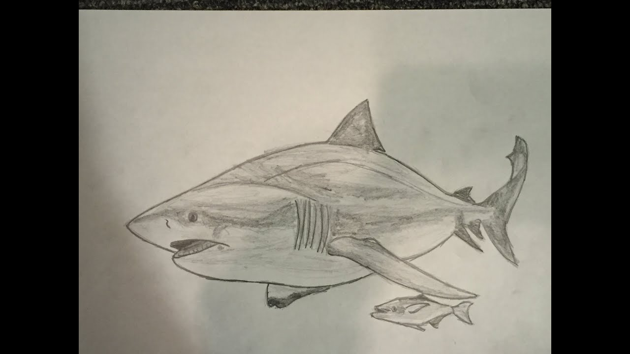 png stock Drawing sharks bull shark. How to draw a