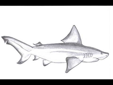 clip art free download How to draw pencil. Drawing sharks bull shark