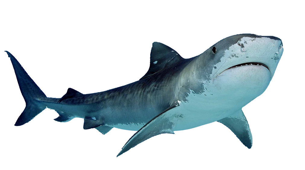 vector free stock  anime for free. Drawing sharks caribbean reef shark
