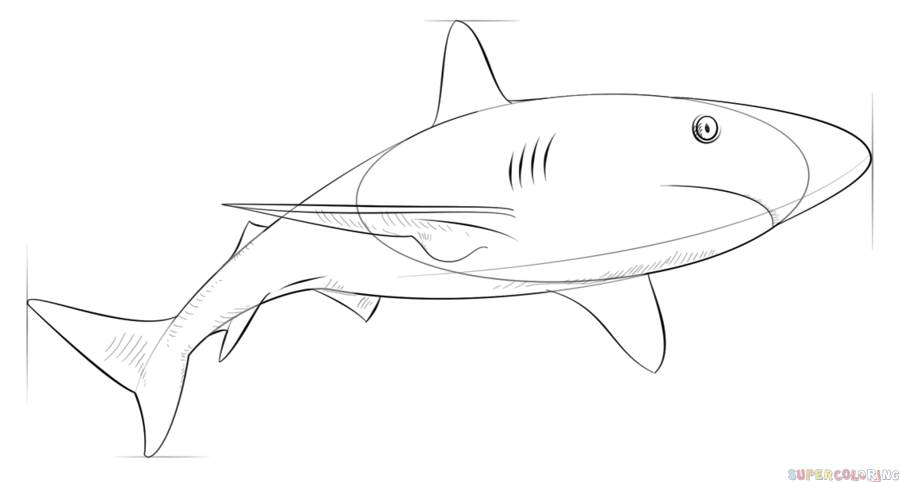 image royalty free library Drawing sharks caribbean reef shark. How to draw a