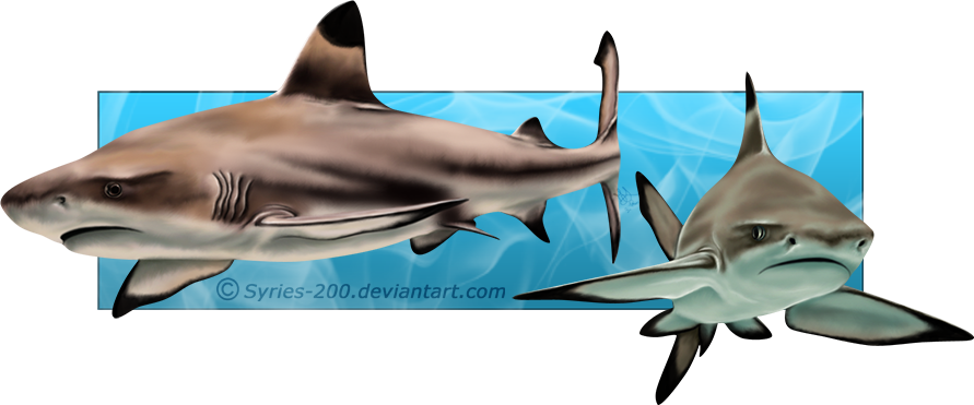 jpg free stock  collection of black. Drawing sharks caribbean reef shark