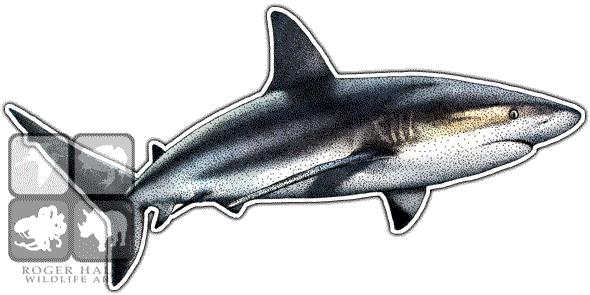 clipart royalty free library Drawing sharks caribbean reef shark. Carcharhinus perezi line art