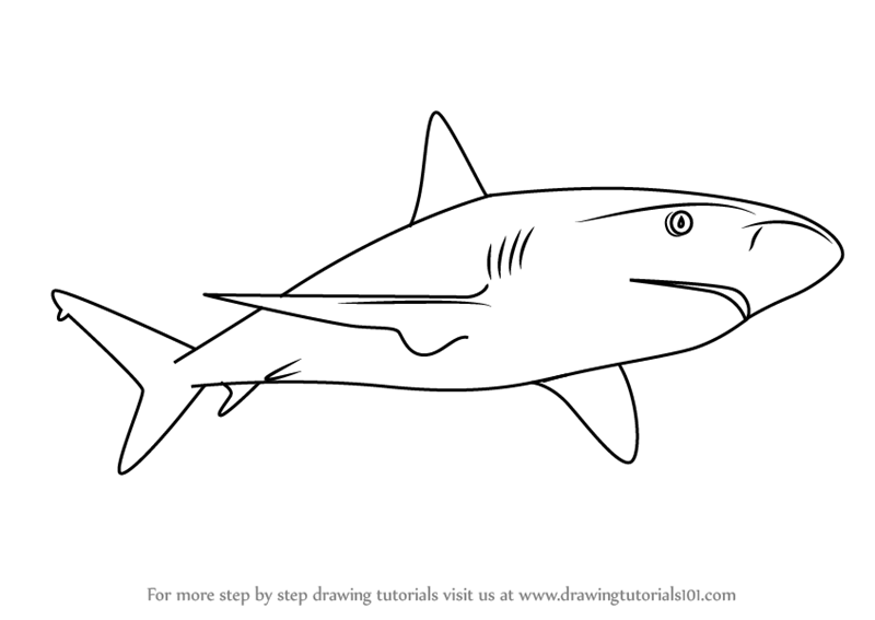 graphic download Learn how to draw. Drawing sharks caribbean reef shark