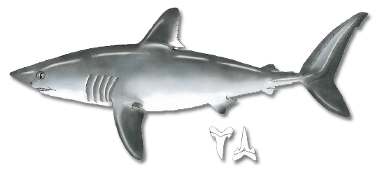picture transparent library Porbeagle registered maine guides. Drawing sharks dogfish shark