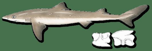 svg transparent download Spiny registered maine guides. Drawing sharks dogfish shark