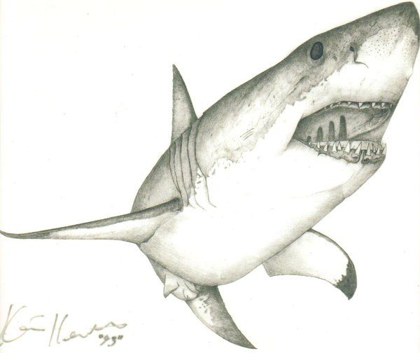 clipart freeuse library Drawing sharks great white shark. Large of a by