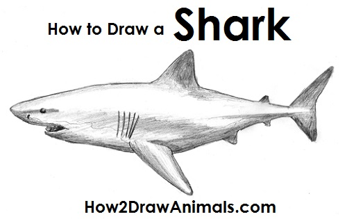 image transparent library How to draw a. Drawing sharks great white shark