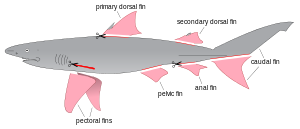 vector Drawing sharks horn shark. Finning wikipedia a diagram