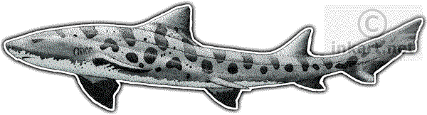 jpg library download Drawing sharks leopard shark. Wildlife art and rays
