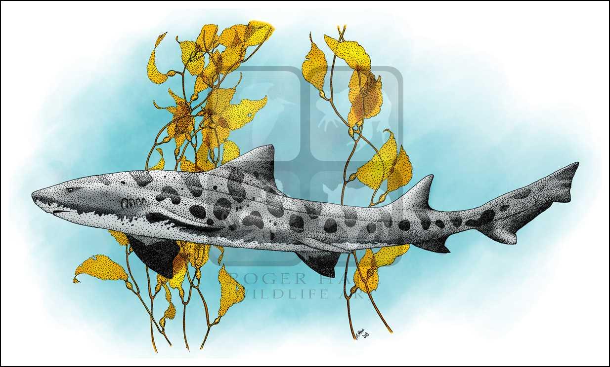 svg free stock Drawing sharks leopard shark. Triakis semifasciata line art