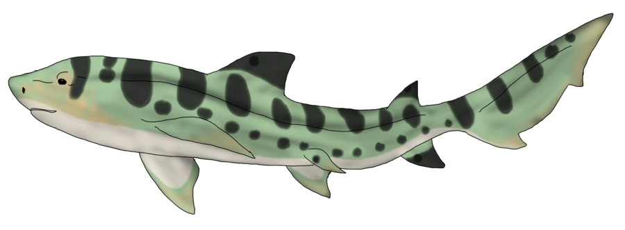banner library library Drawing sharks leopard shark. Custom by cf adopts