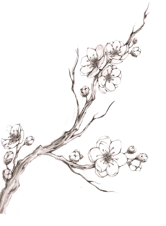 image transparent Cherry Blossom Drawing